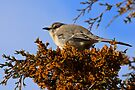 Mockingbird 1 by NatureGreeting Cards ©ccwri