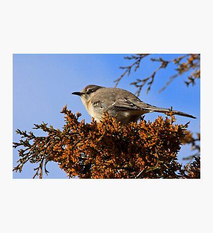 Mockingbird 1 Photographic Print