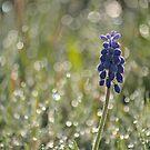 Glimmering Grape Hyacinth by Kelly Chiara