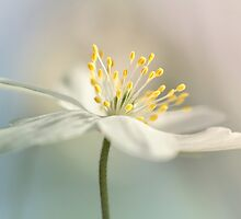 Loveable Wood Anemone... by Bob Daalder