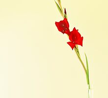 Red Gladiolus Spike by metriognome