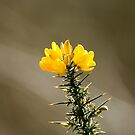 Yellow Gorse Flowers by Sue Robinson