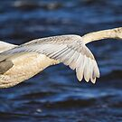 Mute Swan in flight by M.S. Photography/Art