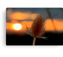 Thistle Sunset Canvas Print
