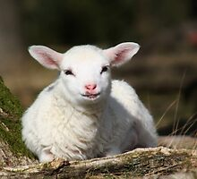 Lamb in Spring by Jo Nijenhuis