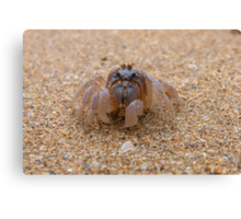 Soldier Crab at Denhams Beach Canvas Print