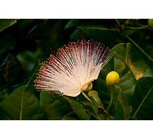Wild Beach Flower Photographic Print