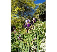 Spring Iris Photographic Print