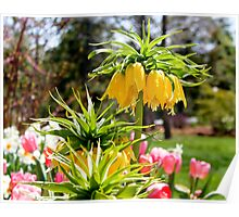 Angels Trumpet Flowers Poster