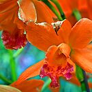 Orange Orchids by cclaude