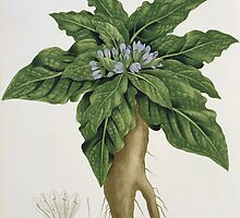 Mandragora Officinarum from 'Phytographie Medicale' by Bridgeman Art Library