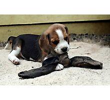 Beagle Puppy Portrait Photographic Print