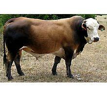Beefmaster Bull Cattle Portrait Photographic Print