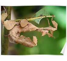 Spiny Leaf Insect Poster