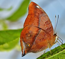 Banded King Shoemaker Butterfly by Paula J James