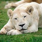 Female White Lion by Chris  Randall
