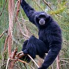 Siamang by Chris  Randall
