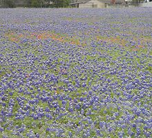 Field of Bluebonnets by Navigator