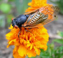 Seventeen Year Cicada by gurineb
