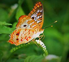 White peacock butterfly by ♥⊱ B. Randi Bailey