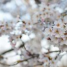 Sakura, Cherry Blossom, High Park, Toronto by jezza323
