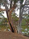 Sugar Gums beside Duck Lagoon by Graeme  Hyde
