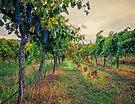 Vineyard Colours by yolanda