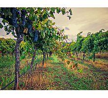 Vineyard Colours Photographic Print