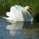 Mute Swan Busking by Meladana