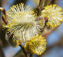Willow Catkins by looneyatoms