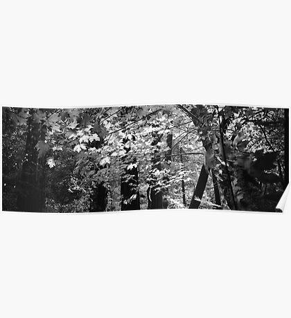Muir Woods - San Francisco Poster