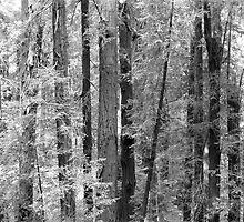 Muir Woods - San Francisco by PonyBlack
