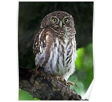 Asian Barred Owlet Portrait Poster