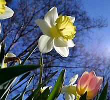 Daffodil by Kate Farkas