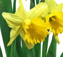 Daffodils Tall and Short Sticker