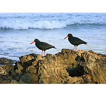 Sooty Oystercatchers Photographic Print