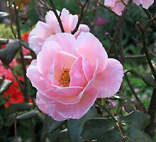 Dreamy Pink Rose by kathrynsgallery