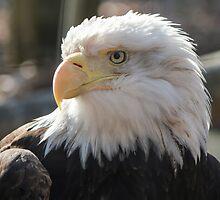 Bald Eagle profile 01 by cadman101