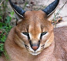Caracal 2 by Lauren McGregor