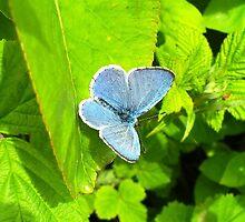Common Blue One by Lauren McGregor