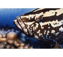 Cayman Grouper Photographic Print