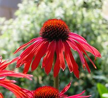 Red Echinacea 1 by Lauren McGregor