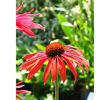 Red Echinacea 2 Photographic Print