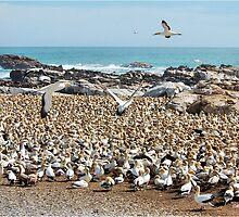 IN THEIR THOUSANDS - Cape Gannet {Morus capensis} by Magriet Meintjes