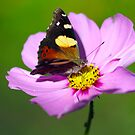 Australian Admiral Butterfly by Clare Colins