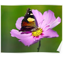 Australian Admiral Butterfly Poster