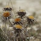 Thistle by karina5