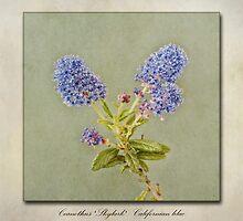 Californian Lilac - Ceanothus Skylark by John Edwards