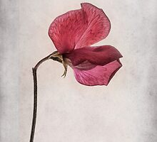 Lathyrus odoratus - Sweet Pea by John Edwards