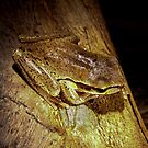 Snowy Mountain Tree Frog  - Cape Conran Vic  by john  Lenagan